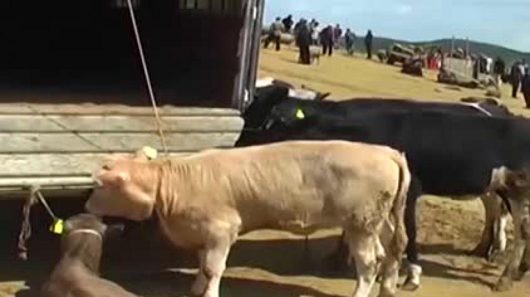 Studimi: Tregjet e kafshëve, minë me sahat për sigurinë ushqimore