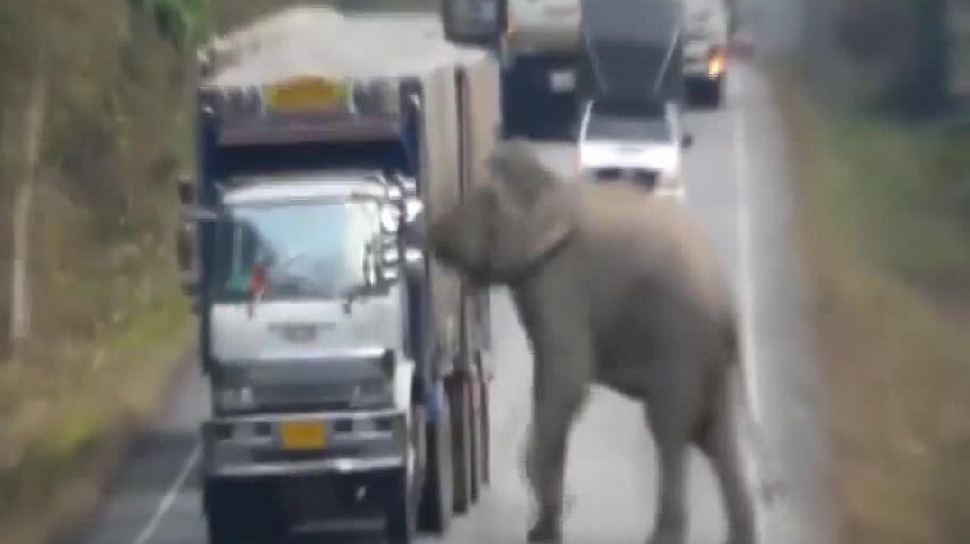 Elefanti dembel! Bllokon rrugën për të grabitur ushqimin e gatshëm