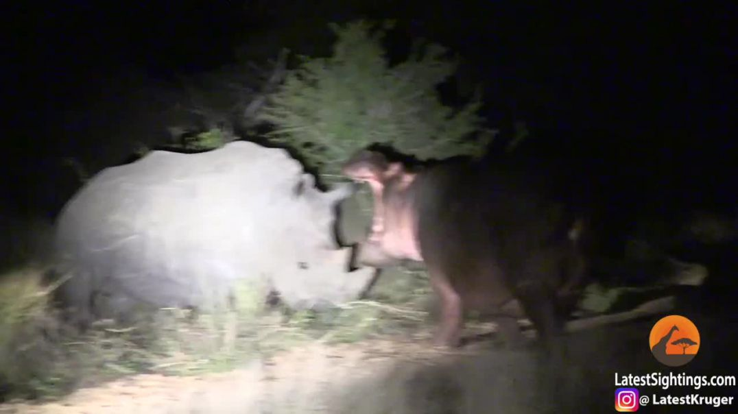 """Hipopotami """"mistrec"""" merr një mësim të mirë nga rinocerontët"""