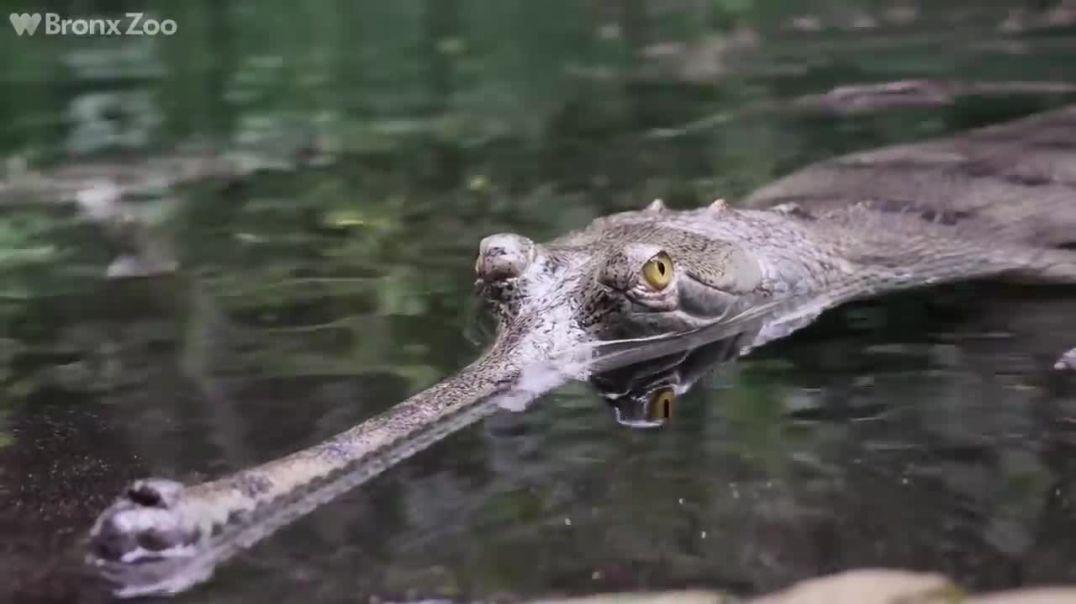 I mbijetuar nga prehistoria, ky është krokodili më i rrezikshëm