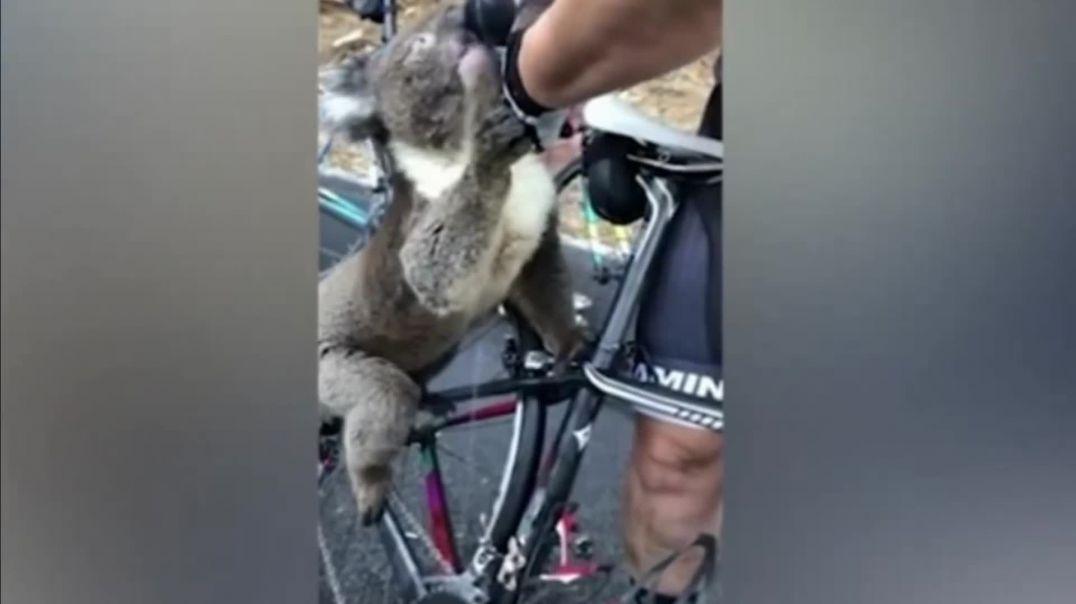 Video / Koala e etur kërkon ndihmë nga çiklistët