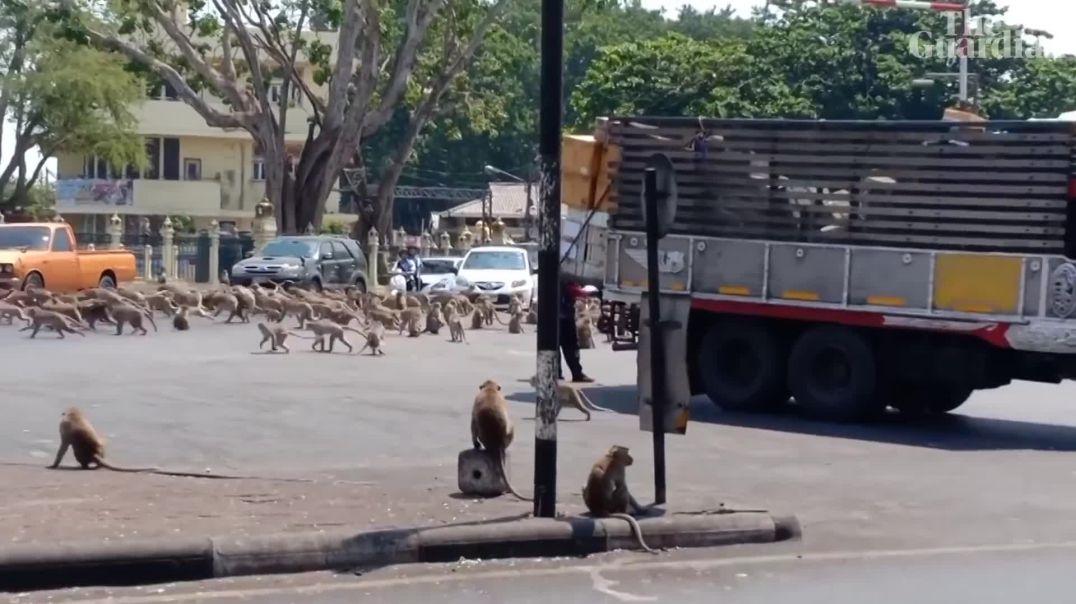 VIDEO - Koronavirusi lë pa ngrënë majmunët në Tajlandë